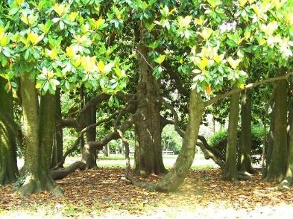 magnolia di Gorizia