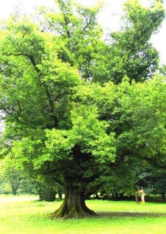 quercia rossa del parco di Monza