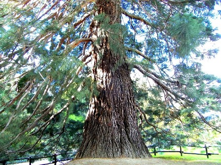 sequoia di Chatillon