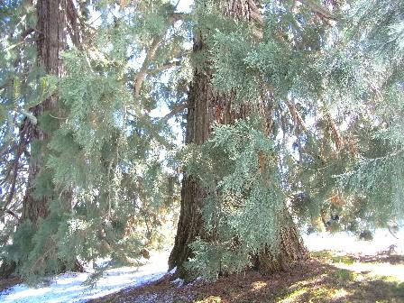 sequoie di Roccavione