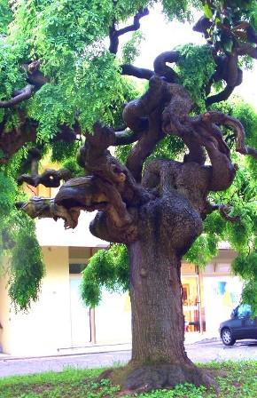 sophora japonica pendula di villotta