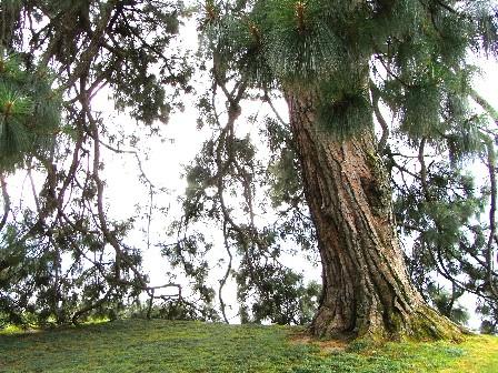 pino del Michoacan villa Melzi a Bellagio