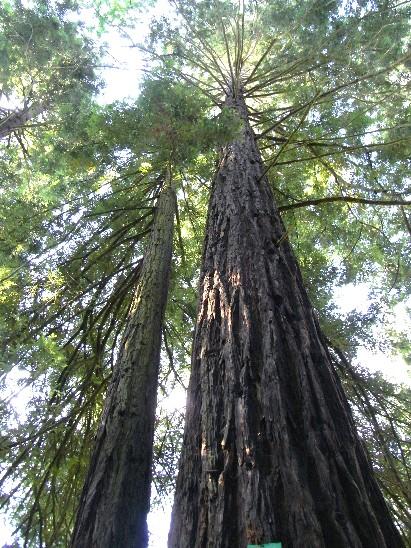 sequoie sempreverdi a Sammezzano