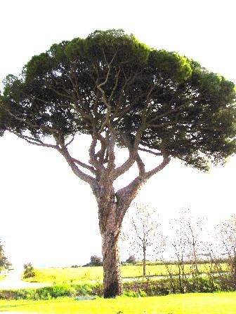 pino livornese