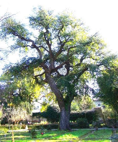 quercia virginiana orto botanico di Pisa