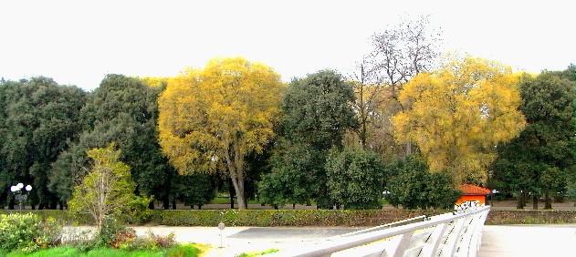 bagolari fioriti alle Cascine di Firenze