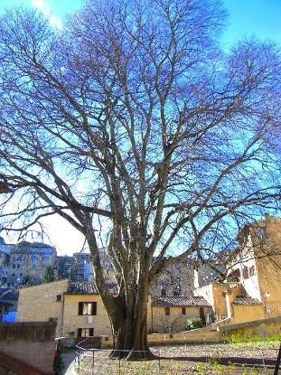 bagolaro di San Gimignano