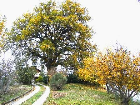 quercia di Fabriano