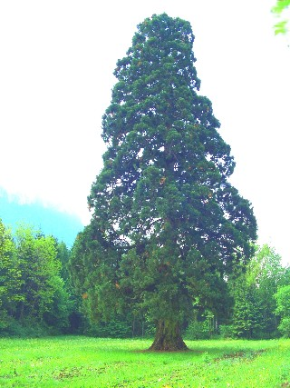 sequoia di Longarone