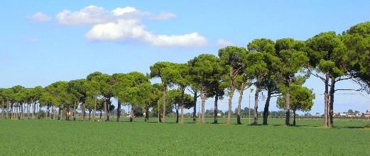 pini domestici a Coccolia