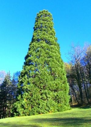 sequoia gigante di Pavullo