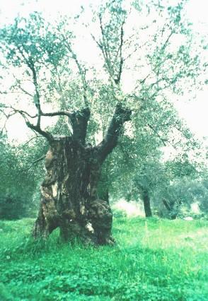 olivo di pozzilli