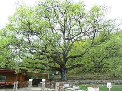 quercia di Fraine