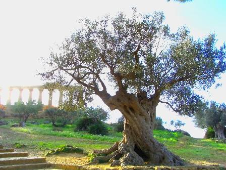 olivo di Agrigento