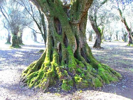 olivo di Gioia Tauro