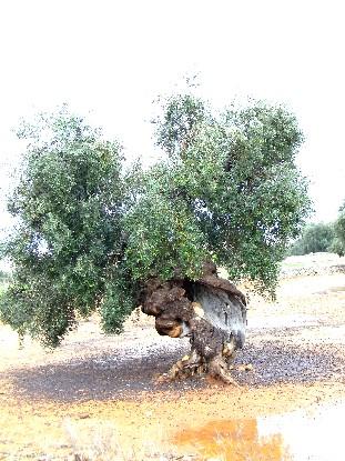 olivo di Monopoli