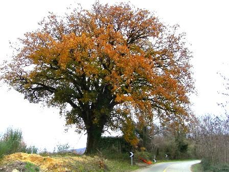 quercia di Simbario