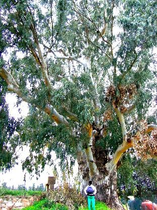 eucalipto di Capoterra