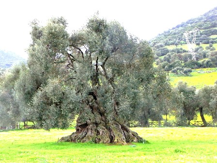 olivo di Villamassargia