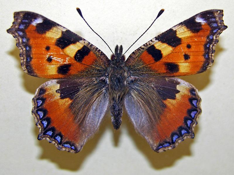 farfalle06-vi