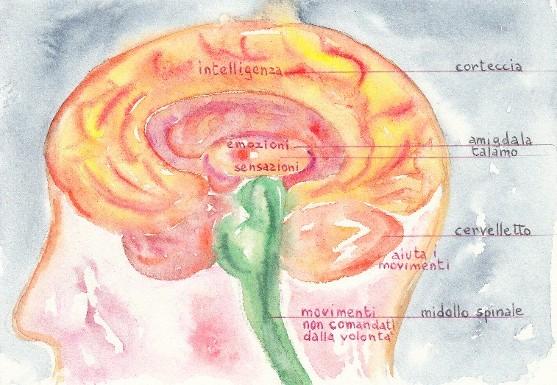 cervelloleg