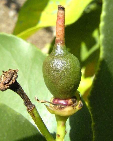 limone all'inizio del suo sviluppo