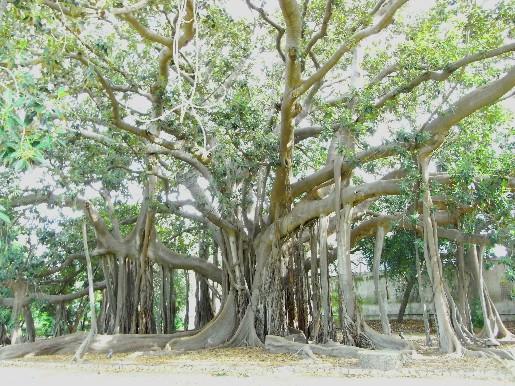 il Ficus magnolides dell'Orto Botanico di Palermo, dove ho ambientato il mio racconto