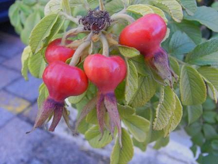 cinorrodi (frutti) delle rose