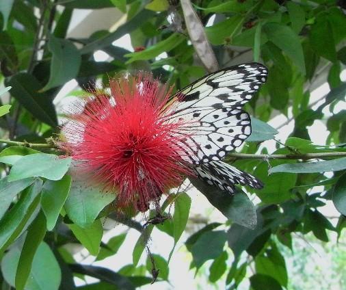 farfalla che succhia il nettare di un fiore