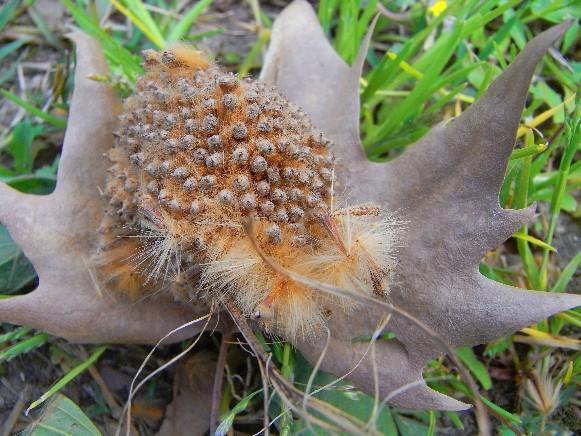 frutto sfaldato che rilascia i piumini coi semi