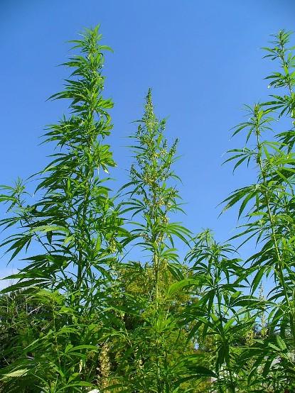 640px-Cannabis_sativa_001