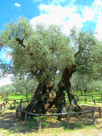olivo di sant'Emiliano, 1700 anni d'età