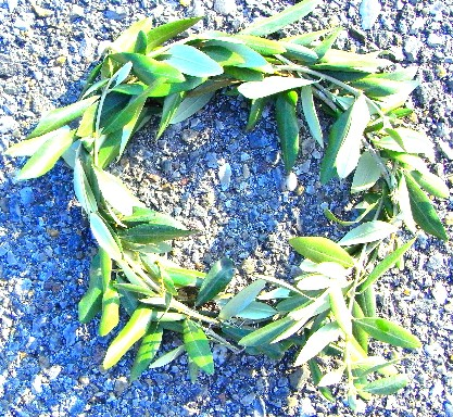 coroncina d'olivo
