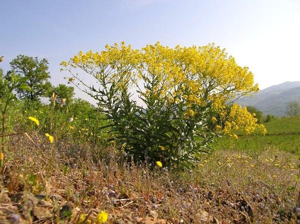 pianta di guado - foto di Enrico Romani dal sito actaplantarum.org