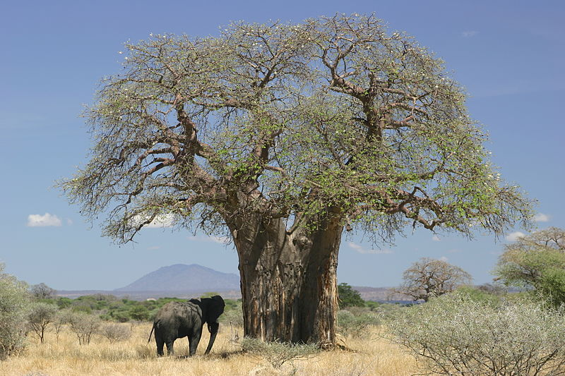 Baobab_and_elephant,_Tanzania