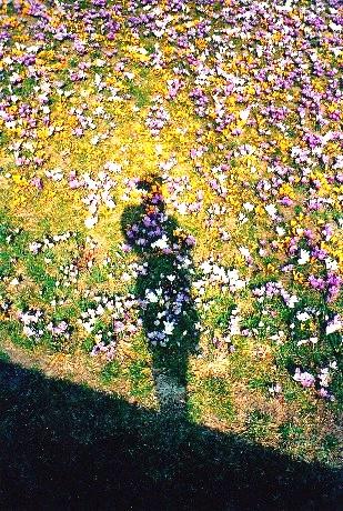 crochi fioriti alla villa Bozzolo di Casalzuigno (VA)