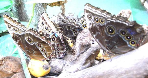 farfalle Morpho con le ali chiuse, mentre si nutrono