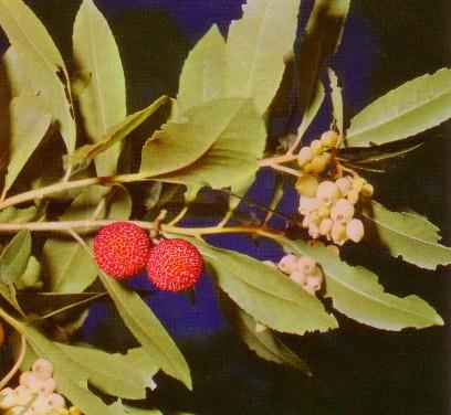 corbezzolo con fiori e frutti