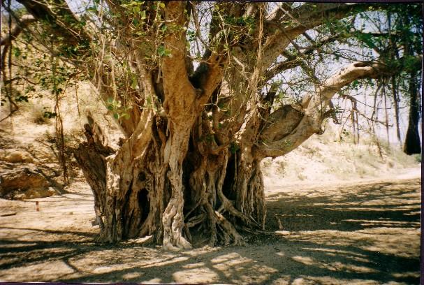 baniano sacro nella regione di Tuléar - Madagascar
