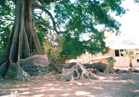 albero del kapok in Senegal, regione Casamanche