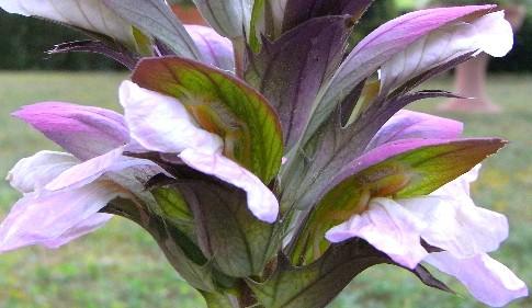"""fiori d'acanto con """"insetto"""" vegetale"""