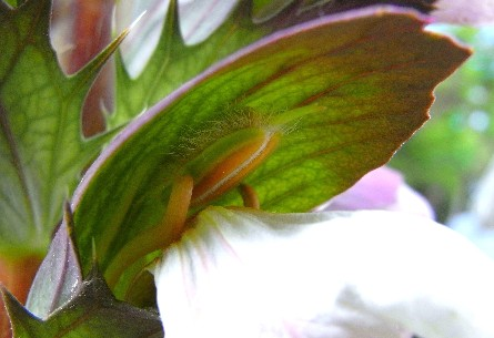 fiore d'acanto con sorpresa