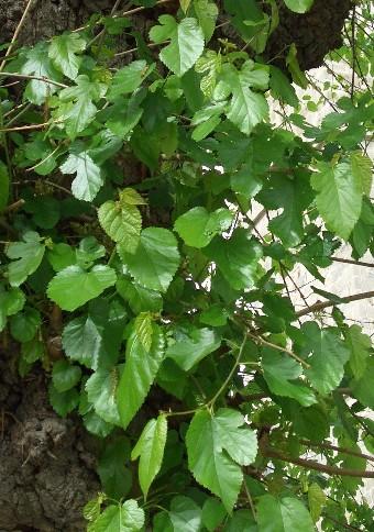 gelso foglie leg