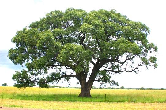 Marula alberoleg