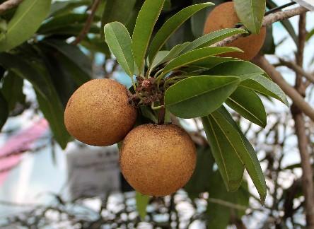 sapodilla, albero dagli squisiti frutti che dà il latice per gomme da mastcare