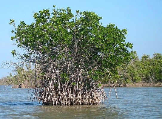 mangrovie Rizophora mangle - foto da Wikipedia