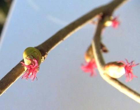 nocciolo fiore feminile
