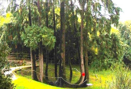 cipresso di Lawson del parco arciducale di Arco (TN)