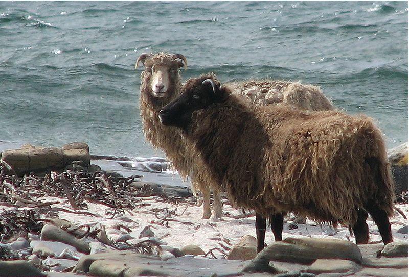 pecore isola ronaldsay di Ian Caldwell, wikipedia