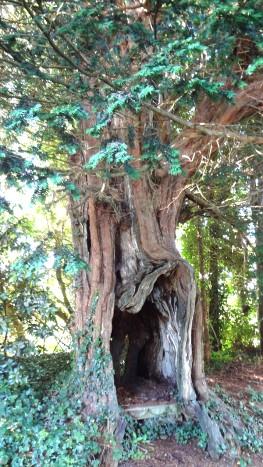 tasso di Le Bourg da monumentaltrees.com foto di yfichen